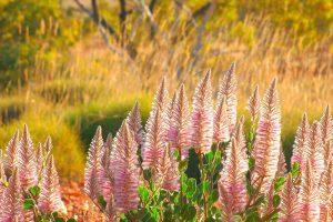 Pink Mulla Mulla Cravens Peak