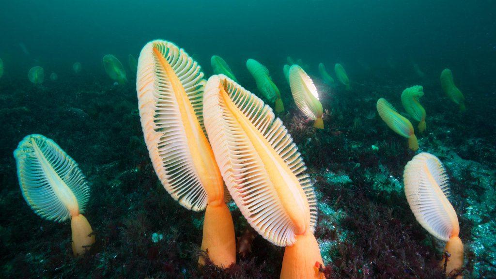 Primitive Sea Pens