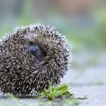 Rolling Hedgehog Oberbruck