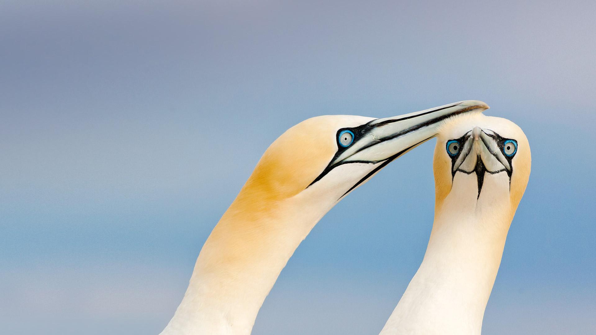 Saltee Gannets