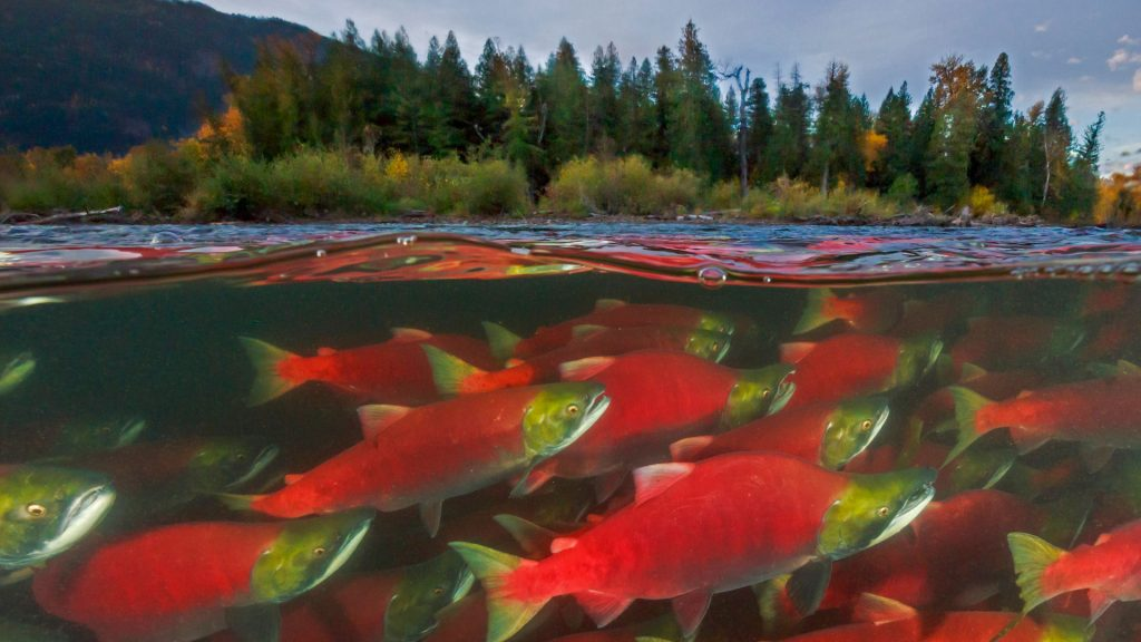 Sockeye Returns