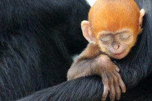 Taronga Monkey