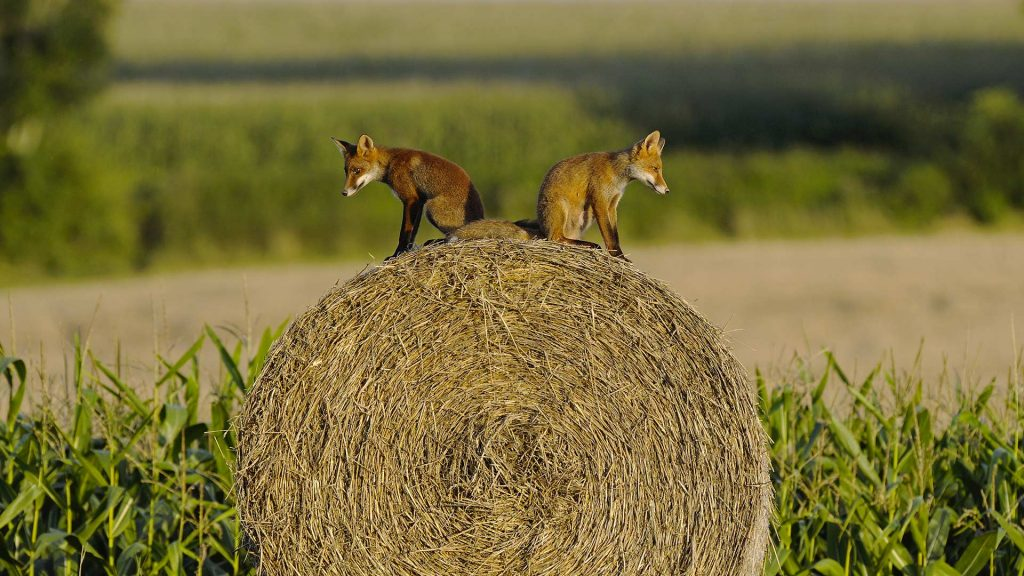 Young Red Foxes Vosges