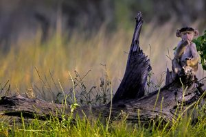 Botswana Baboon