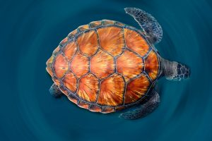 Canary Islands Turtle
