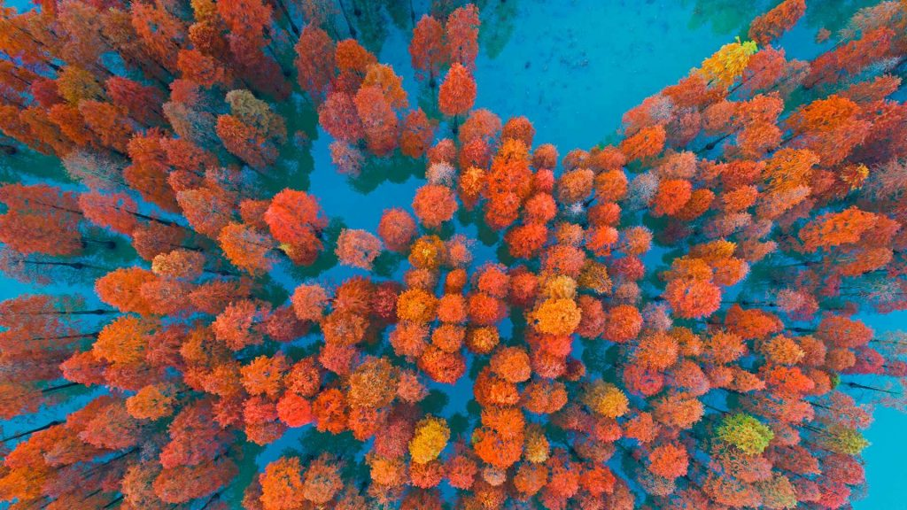 Dawn Redwoods