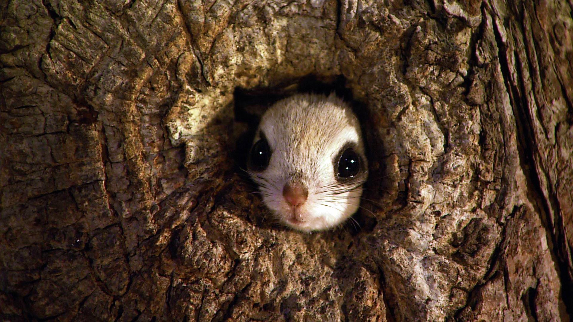 Dwarf Flying Squirrel