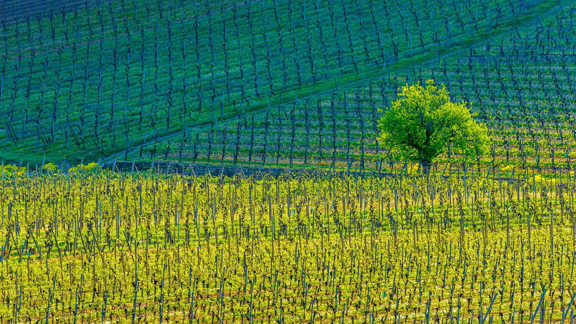 Kientzheim Vineyards