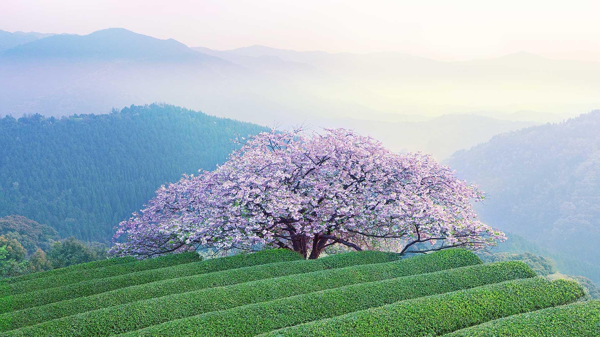 Kumamoto Cherry