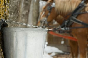 Maple Syrup Sap