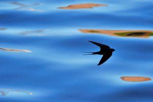 Monty P Swallow