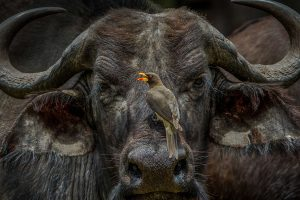 Oxpecker Boss