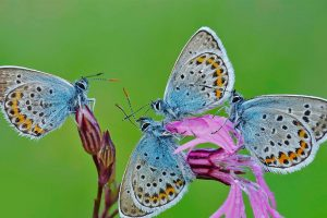 Rom Butterflies