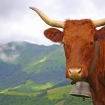 Salers Cow Cantal
