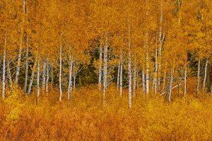 Teton Aspen Golden
