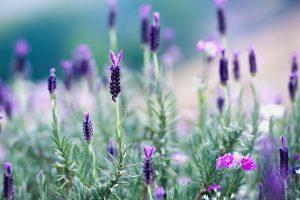 Thailand Lavender