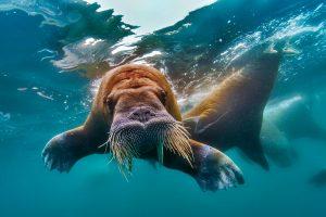 Underwater Walrus