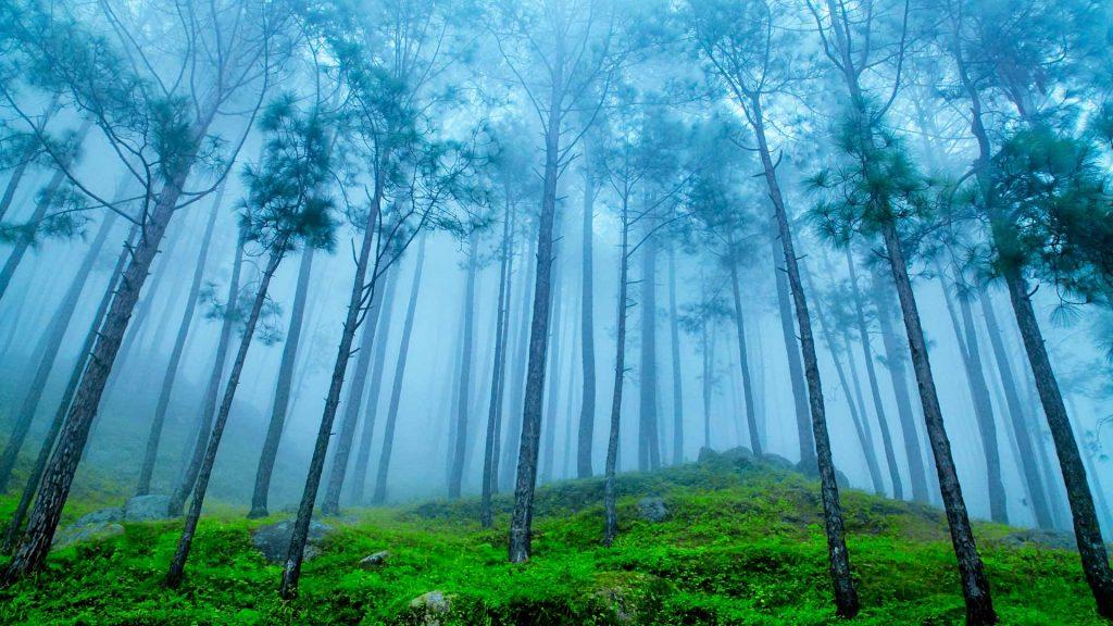 Uttarakhand Pines