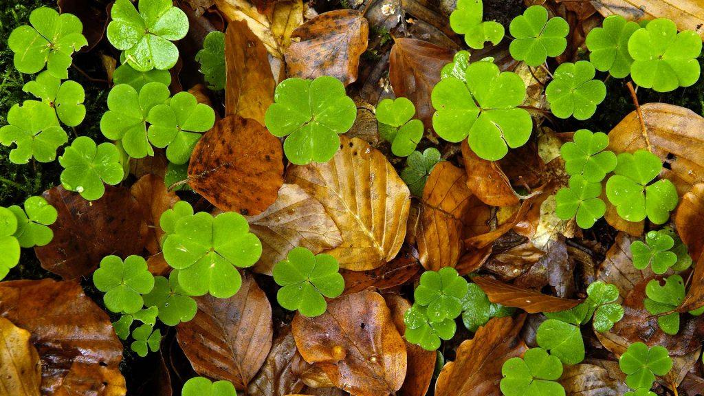 Woodsorrel Leaves