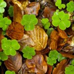 Woodsorrel Leaves