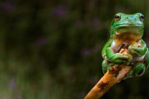 Adelaide Frog