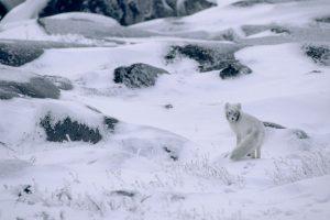 Arctic Foxtest