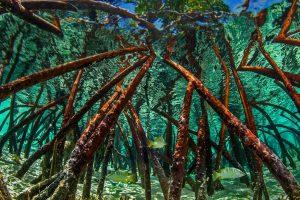 Bahamas Mangroves