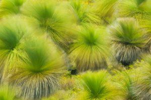 Balga Grass Trees