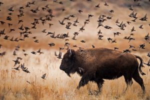 Bison Day