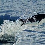 Cape WA Penguin