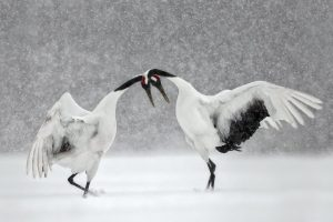 Courting Cranes