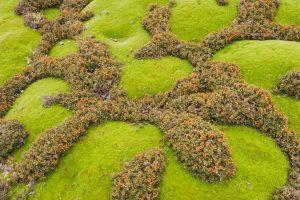 Cushion Plant Coral Fern