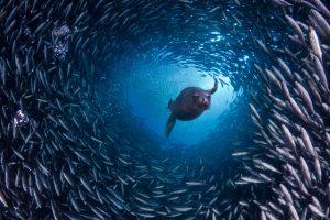 Galapagos Sealion