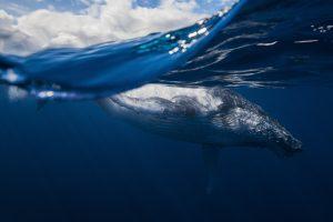Humpback Whale Reunion