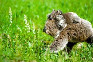 Koala Mom Joey