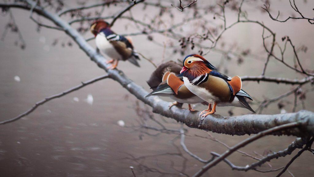 Mandarin Ducks UK