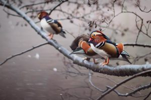 Mandarin Ducks UK