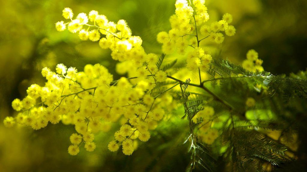 Mimosa Sainte Catherine Day