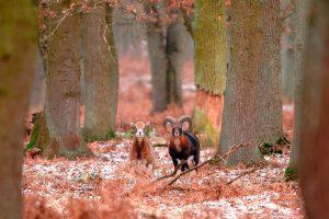 Mouflons Forest