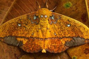 Napo River Moth