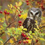 Northern Owl