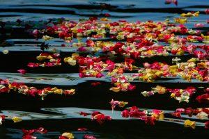 Oceanside Harbor Rose Petals