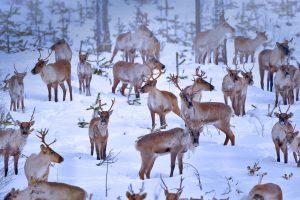 Oulu Reindeers