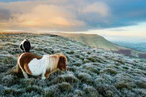 Ponies Wales