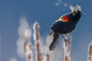RW Blackbird