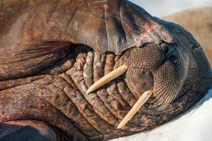 Sleepy Walrus