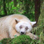 Spirit Bear Sleeps