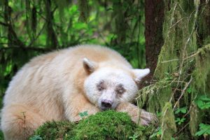 Spirit Bear Sleeps