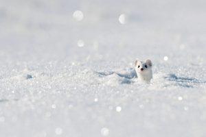 Stoat Winter