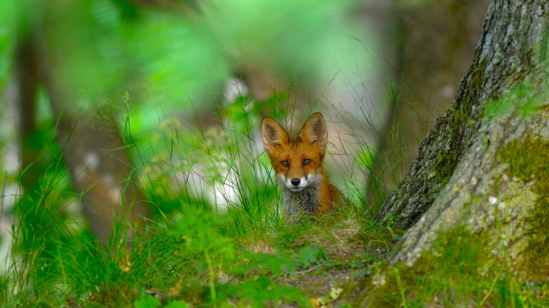 Sweden Fox